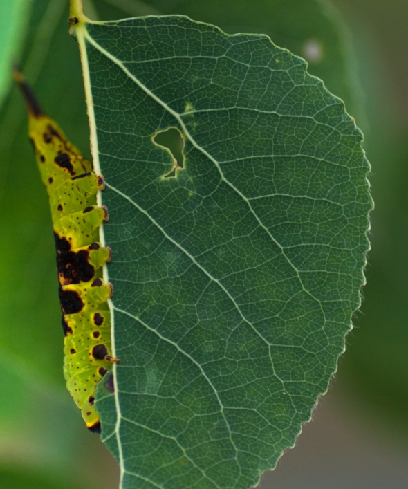 The caterpillar of the Gray Furcula disguises itself as a chewed leaf!