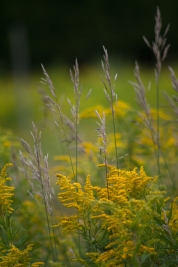 Goldenrod and seed heads of grass
