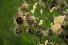 As summer progresses, Burdock seeds ripen