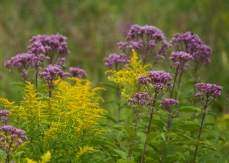 Goldenrod and Joe Pye Weed, a beautiful combination of late summer