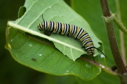 The caterpillar of a Monarch on a Milkweed leaf