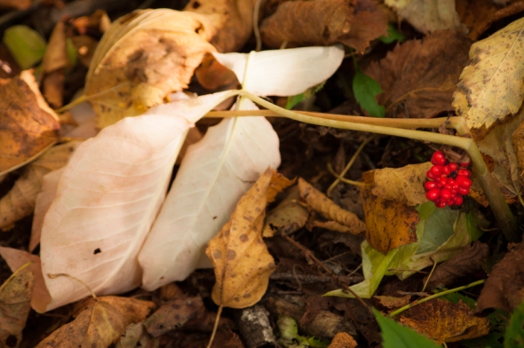 Jack-in-the-pulpit gone to seed