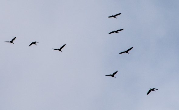 Geese-3098