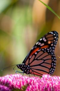 Monarch-0873