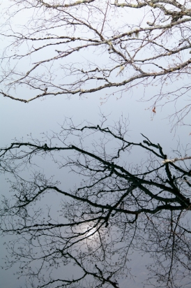A White Birch reflecting, with the sun, in the dark waters of #10 Pond