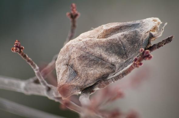 Cecropia cocoon-3967