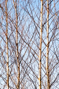 Branches and trunks of young Birch trees.