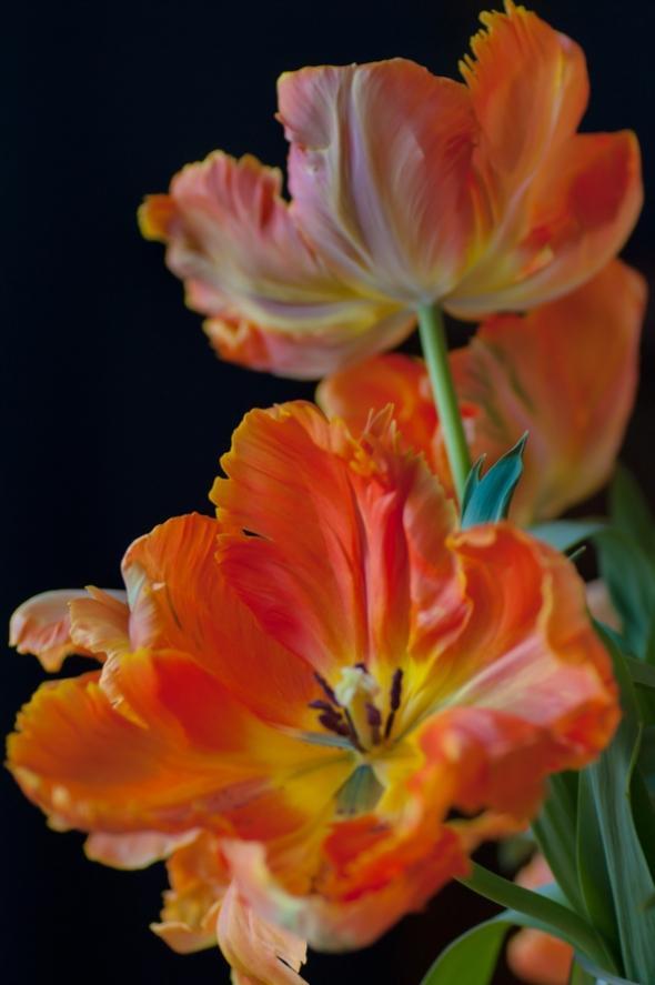 Tulip-7873