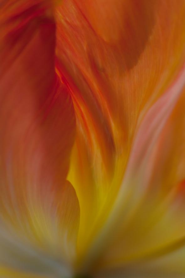 Tulip-7910