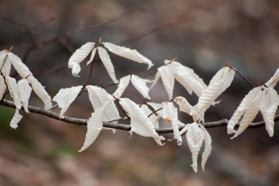 Leaves of American Beech still hanging on
