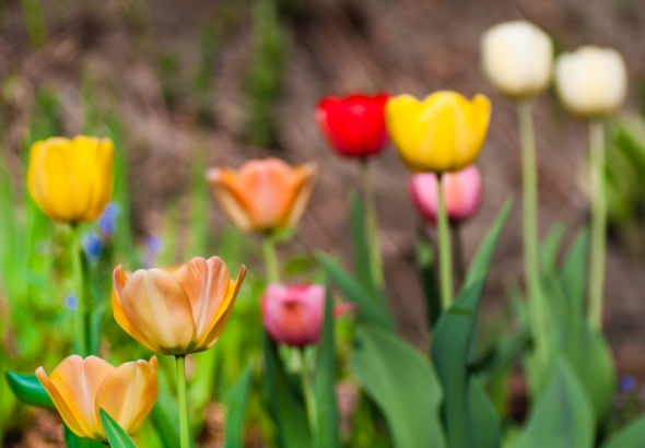 tulips-5562