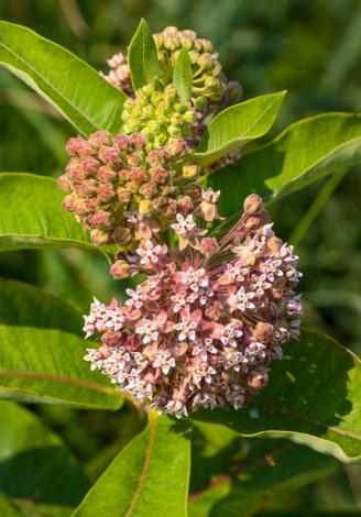 Common Milkweed
