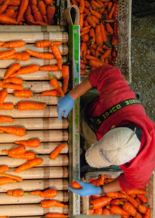 • Washing Carrots at Pete's Greens Farm Farm work, from beginning to end, fascinates me. The forms and colors of this simple image of a woman washing carrots is compelling, not only as art, but also as documentation of what it takes for us to get good food into our lives—and that is not an easy job!