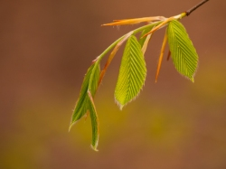 Lovely new leaves of Beech