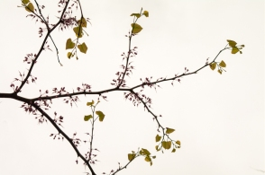 Redbud blooms gone by with leaves bursting forth.