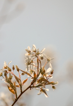 Serviceberry in full bloom