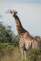Life overflows with miracles like giraffes. Can we pledge to keep room for diversity in a world we increasingly influence?