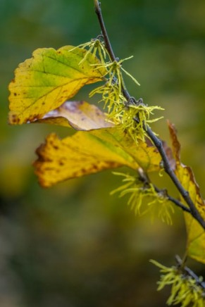 Why not plant some Witch Hazel, many varieties in full bloom right now!